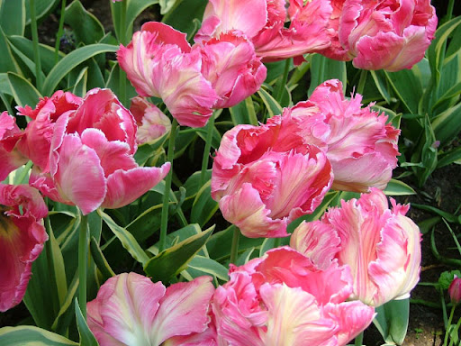 Keukenhof, i fiori