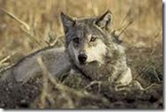 Serigala (Canis lupus)