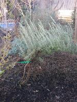 pruning milestone for rosemary folia