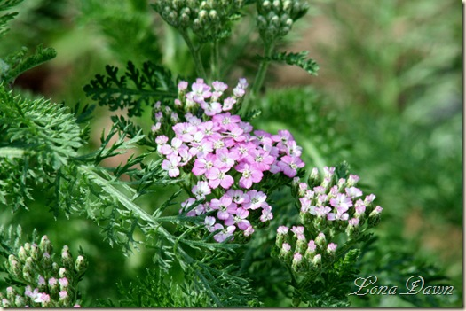 Achillea_RichardNelson2_May13