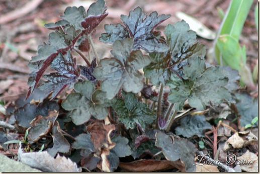 Heuchera_PurplePalace