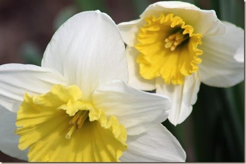 Daffodil9_2010