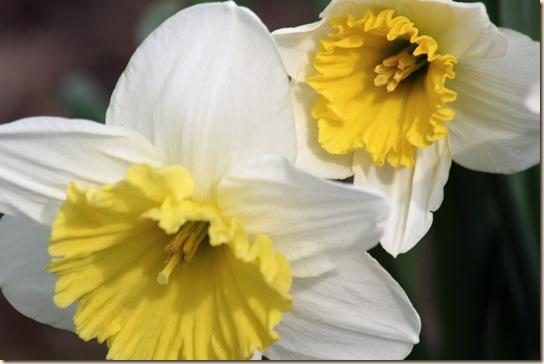 Daffodil4_2010