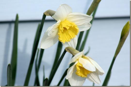 Daffodil_Spring4