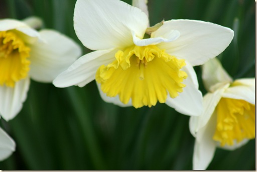 Daffodils6_2010