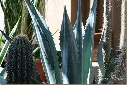 FPC_Agava_Cactus