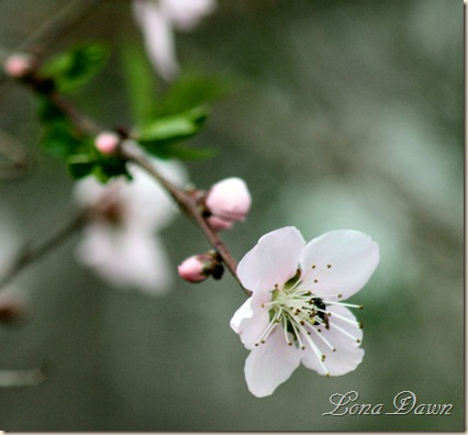 Peach_Blossoms2