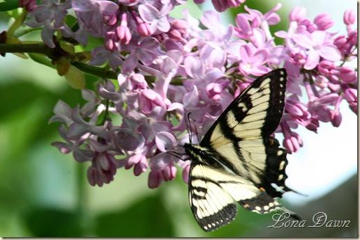 Lilac3_Swallowtail