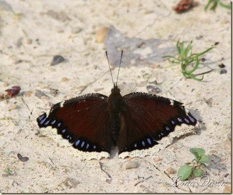 MourningCloak4