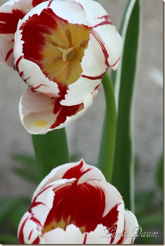 Tulip_RedStripes