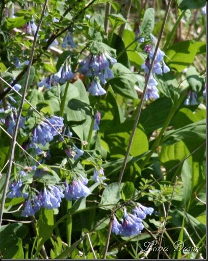 CH_BlueBells2_Spring