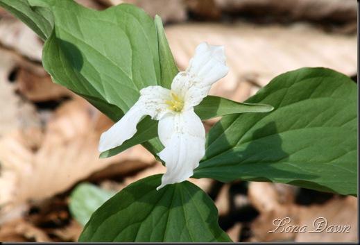 CH_White_Tillium_Spring
