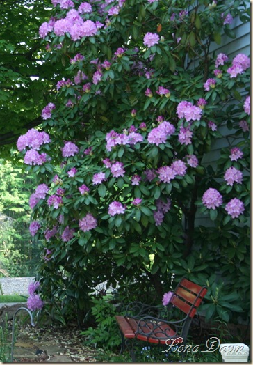 Rhododendron_Lilac_2009