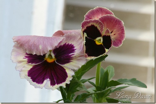 Pansy_Antique_2010