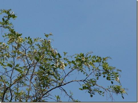 LocustTrees