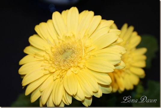 Gerbera_Yellow2