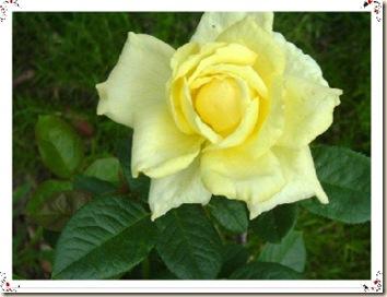 Irish_Gold_Rose-1