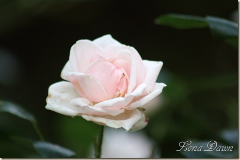 Rose_NewDawn2_May26