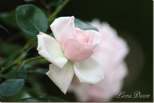 Rose_NewDawn_May26