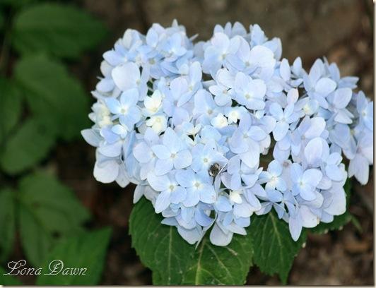 Hydrangea_BlueberryParfait_June2