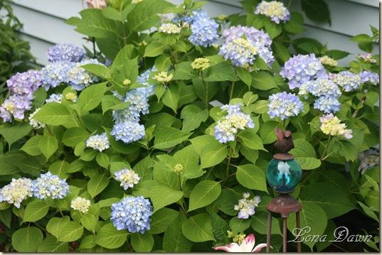 Hydrangea_Nikko_June5