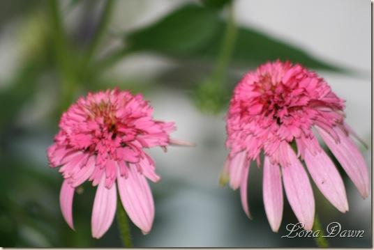 Echinacea_Razzmatazz2_June22