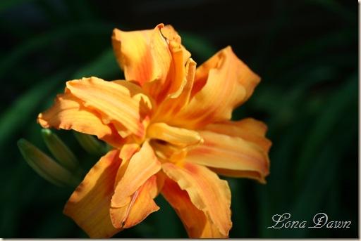 HH_OrangeLily_2010