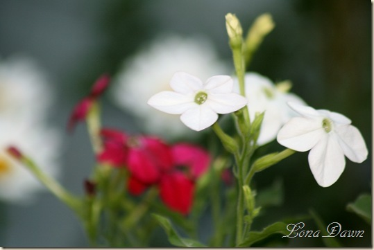 Nicotiana_White_July5