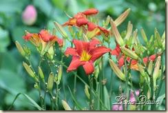 LF_Orange3_Lilies
