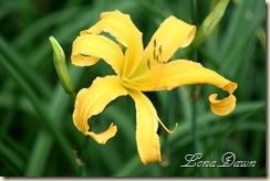 LF_YellowLily