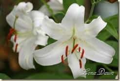 LF_White2_Lilies