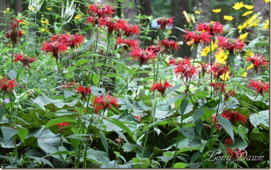 LF_Red_BeeBalm