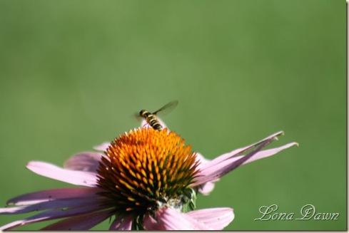 Coneflower_Bee_SM