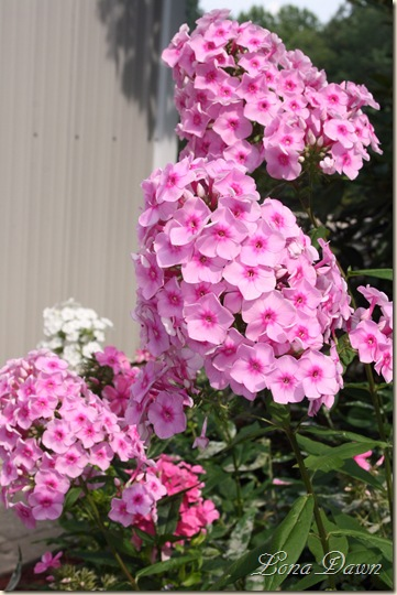 Phlox_BrightEyes_July23