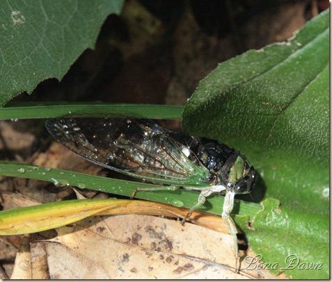 Locust2_Cicada