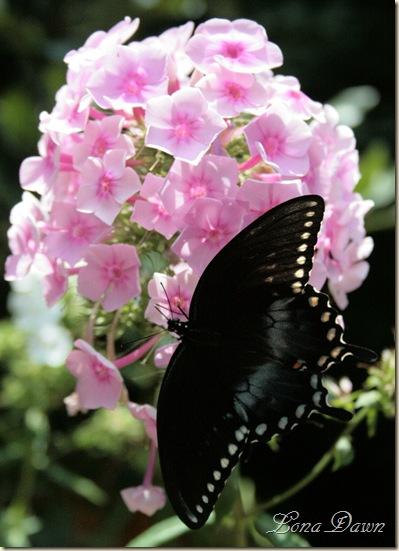 Phlox3_Butterfly