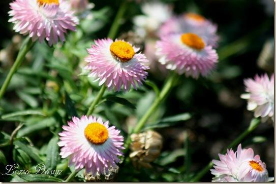 FPC_PinkBracteathaStrawflower