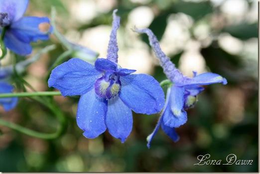 Delphimium2_BlueBird_Aug9