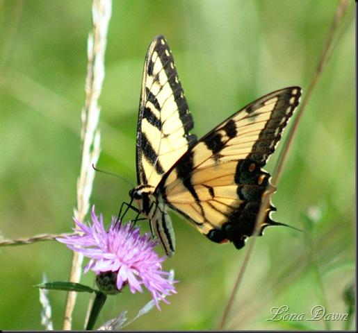 RL_Eastern_Swallowtail5