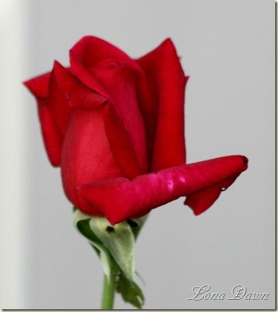 AlmostBlack_Rose
