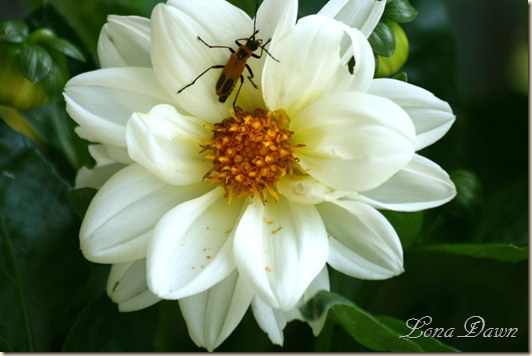 FigaroDahlia_White_Aug13