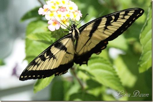 Lantana_Butterfly