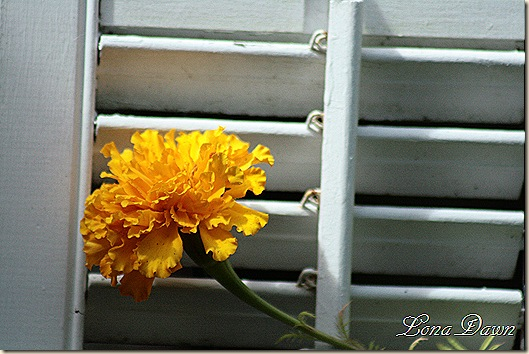 Marigold_Orange2