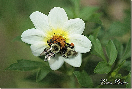 Dahlia_Bumblebees