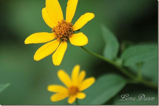 CC_OxEyed_Sunflower3