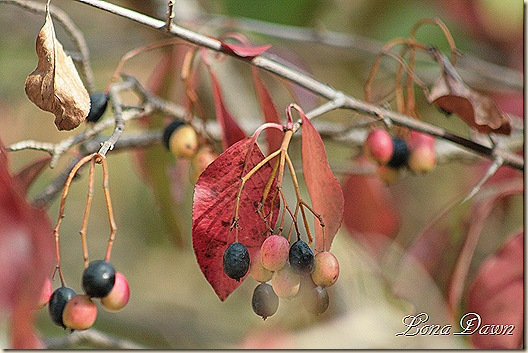 Fall_Berries