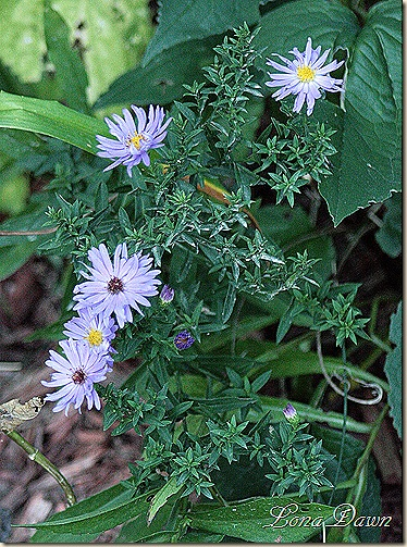 Blue_Asters