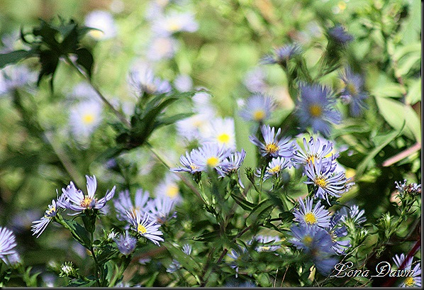 RNP_Asters2