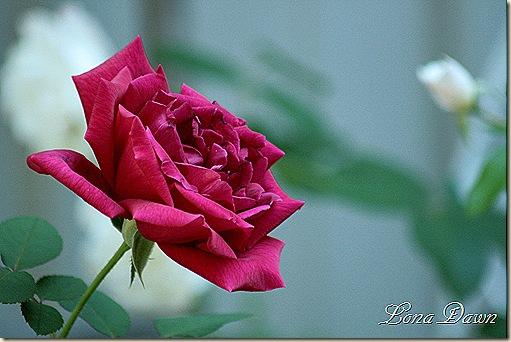 ABlack_Rose