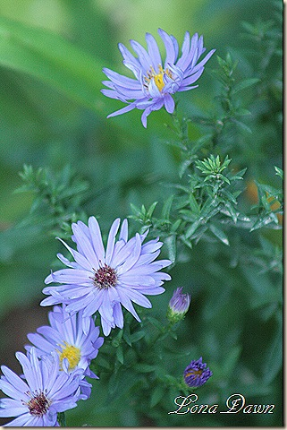 Blue_Asters2